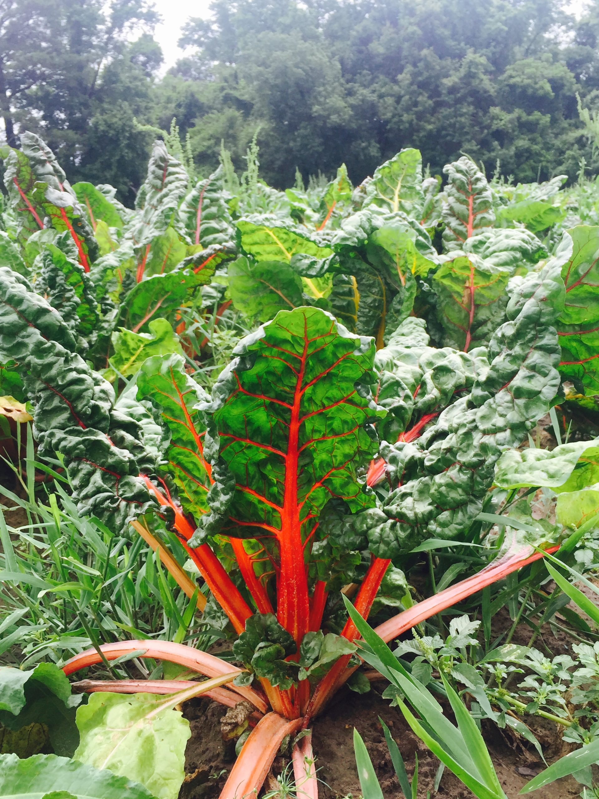Bright orange and red stalks of red chard with leafy green tops growing in their crop field.